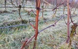 Reben vorschneiden Weingut Faber Freiburg