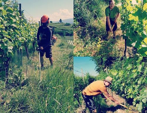 Böschungspflege in den Weinbergen