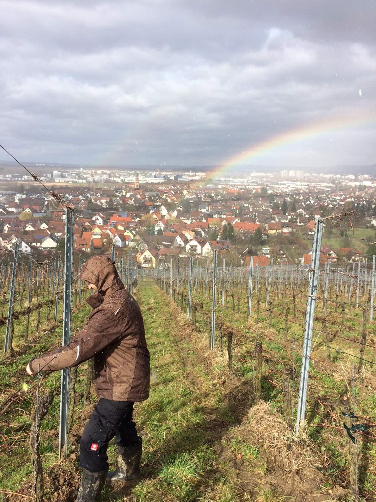 Reben biegen Weingut Faber Freiburg